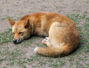 Dingo dans zoo australien