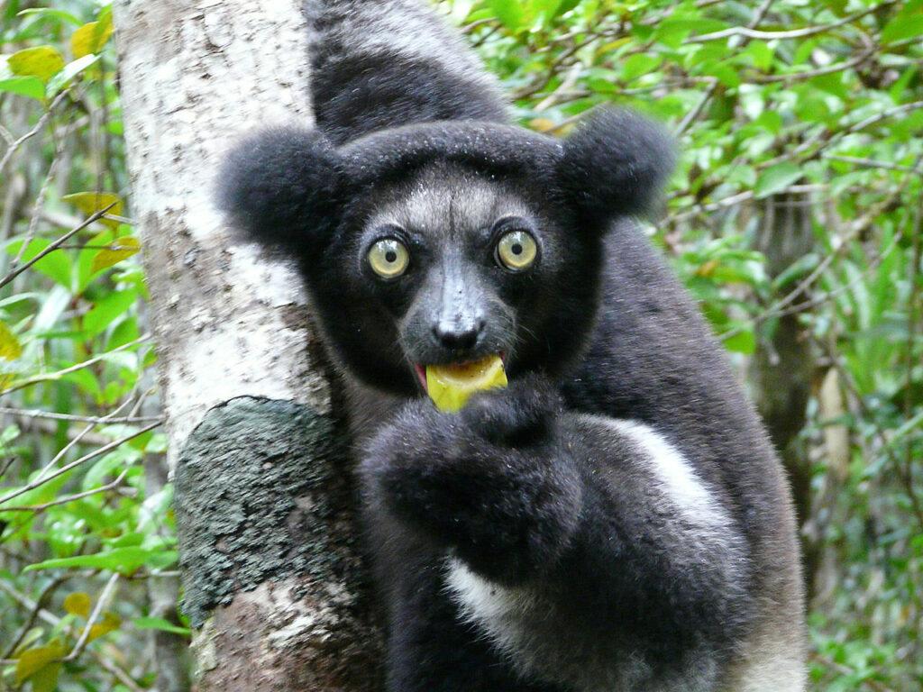 Tête Indri