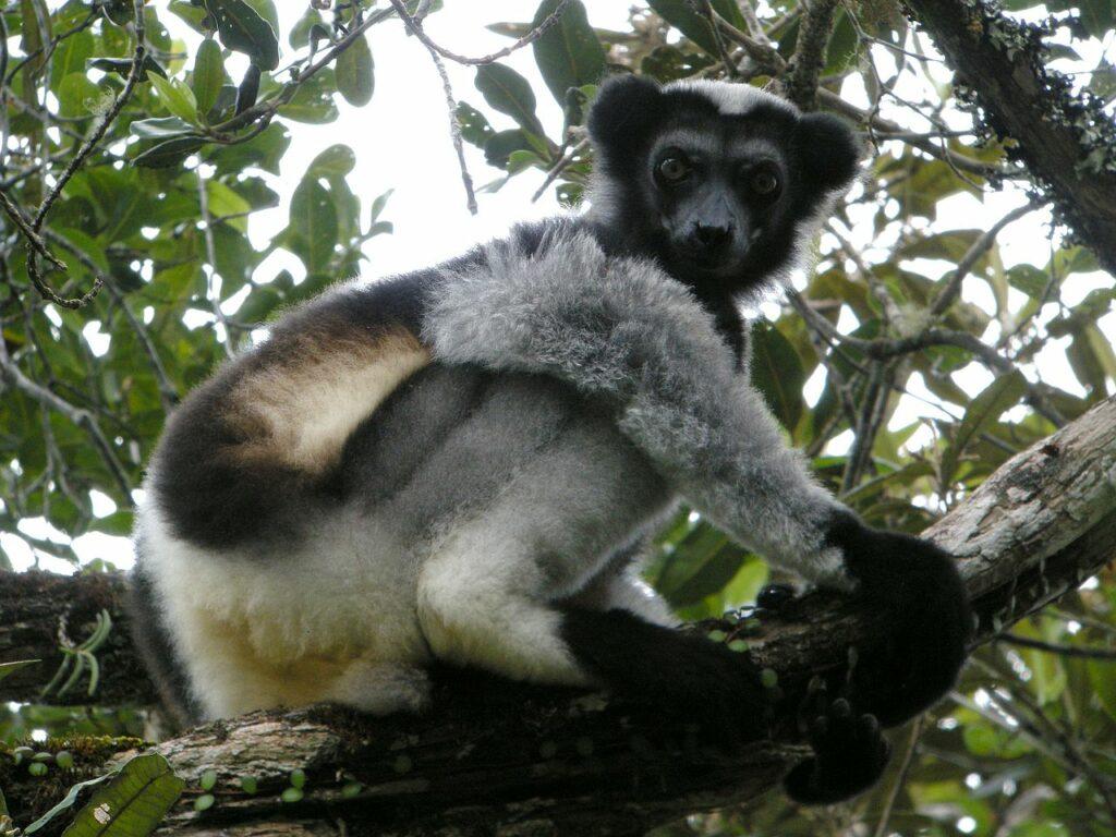 Indri Indri par Frank Vassen